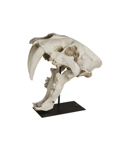 Saber tooth skull Authenthic Models